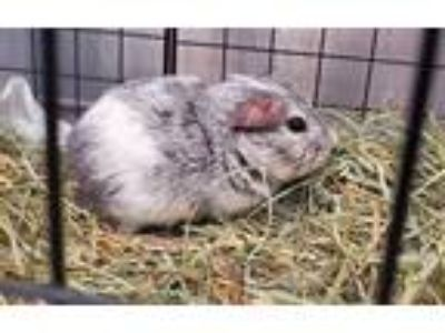 Adopt Nibbles a Guinea Pig (short coat) small animal in New York, NY (25874643)