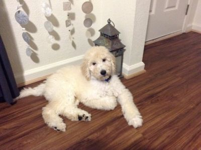 Goldendoodle Puppy Goldenretriever Poodle