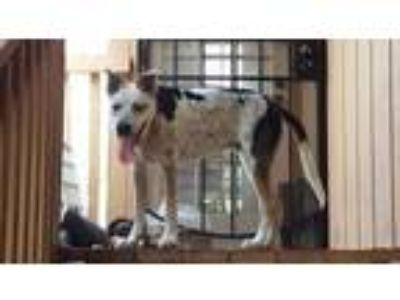Adopt Mickey a Cattle Dog
