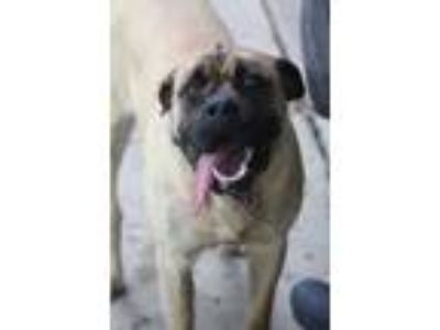 Adopt Nellie a Tan/Yellow/Fawn - with Black Bullmastiff / Mixed dog in