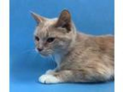 Adopt Piper a Tan or Fawn Domestic Shorthair / Mixed cat in St.