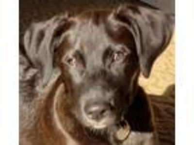 Adopt Hunnicutt a Border Collie, Golden Retriever