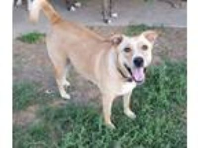 Adopt Indy (Cat friendly) a Labrador Retriever