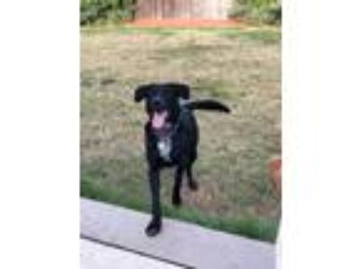 Adopt Blue a Black - with White Labrador Retriever / Australian Shepherd / Mixed