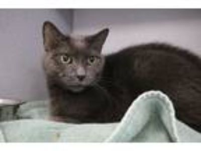 Adopt Nisula a Gray or Blue Domestic Shorthair (short coat) cat in Houghton