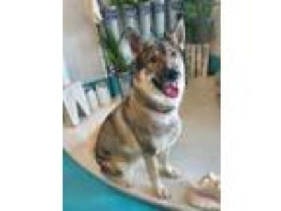Adopt Sheila a White - with Gray or Silver German Shepherd Dog / Mixed dog in