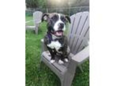 Adopt Ralphina a Pit Bull Terrier, Mixed Breed