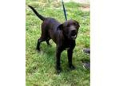Adopt Frisco a Labrador Retriever