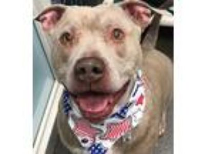 Adopt Debo a Pit Bull Terrier / Mixed dog in Columbus, OH (25343460)