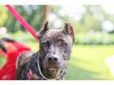 Adopt Charm a Pit Bull Terrier / Shepherd (Unknown Type) / Mixed dog in St.