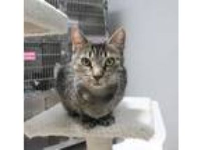 Adopt Mama T a All Black Domestic Shorthair / Domestic Shorthair / Mixed cat in