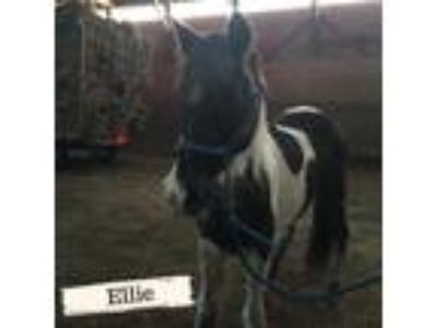 Adopt Ellie a Paint/Pinto / Mixed horse in Woodstock, IL (22567156)