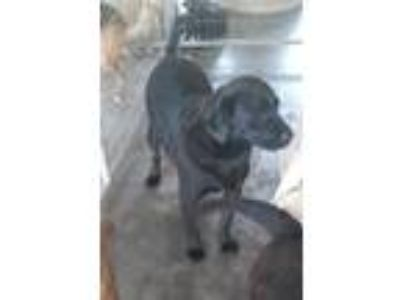 Adopt Raphael a Black Labrador Retriever / Mixed dog in Bonifay, FL (25037038)