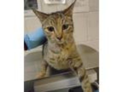 Adopt Mama Cat a Domestic Shorthair / Mixed cat in Raleigh, NC (25877379)