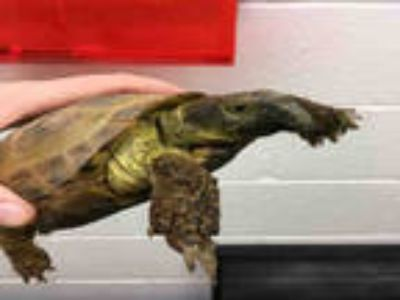 Adopt PETRY a Tortoise / Mixed reptile, amphibian, and/or fish in Loveland