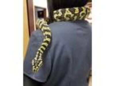 Adopt Bubbles a Snake reptile, amphibian, and/or fish in Irving, TX (25235697)