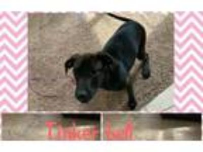 Adopt TINKER BELL a Labrador Retriever, Collie