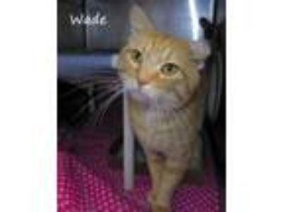 Adopt Wade a Orange or Red Domestic Shorthair / Domestic Shorthair / Mixed cat