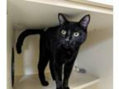 Adopt Julio a All Black Domestic Shorthair (short coat) cat in Elyria