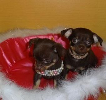 Adorable Chihuahua Puppies