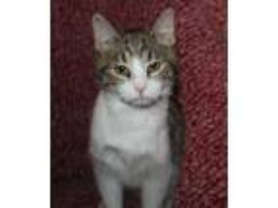 Adopt Monday a Gray or Blue Bengal (short coat) cat in marionville