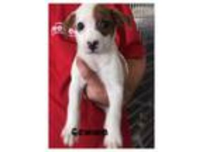 Adopt Gemma a White - with Brown or Chocolate Terrier (Unknown Type