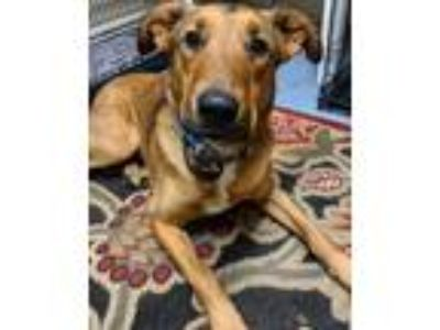 Adopt Riggins a Shepherd (Unknown Type) / Terrier (Unknown Type