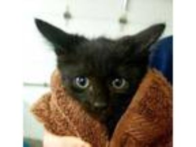 Adopt Ginger Spice a All Black Domestic Shorthair / Domestic Shorthair / Mixed