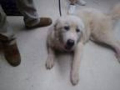Adopt Woodstock a Great Pyrenees