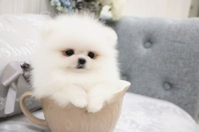 Pomeranian PUPPY FOR SALE ADN-78082 - Pearl