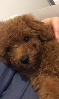 Mini poodle 3 1/2 months old female purebred