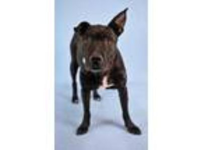 Adopt Cocoa a Black American Pit Bull Terrier / Labrador Retriever / Mixed dog