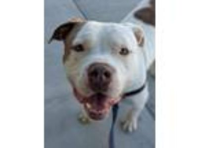 Adopt Bully a Staffordshire Bull Terrier