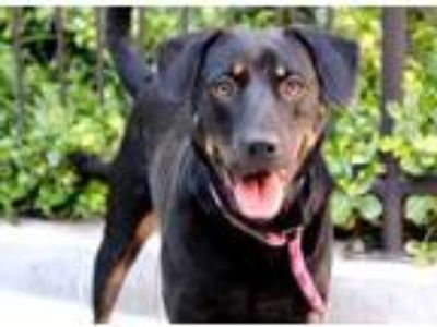Adopt Lokey a Black Shepherd (Unknown Type) / Mixed dog in Chicago