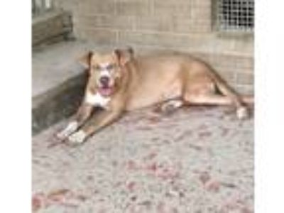 Adopt Tallulah a Tan/Yellow/Fawn - with White Pit Bull Terrier / Labrador