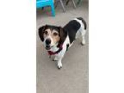 Adopt Myrtle a Tricolor (Tan/Brown & Black & White) Basset Hound / Mixed dog in