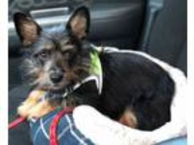 Adopt Crosby - in Maine a Yorkshire Terrier