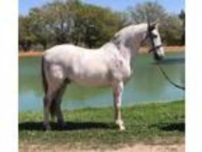 Baroque Lusitano Gelding in Houston