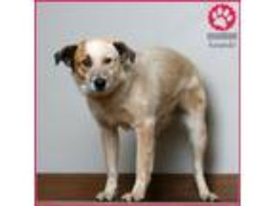 Adopt Zap D190758 a Australian Cattle Dog / Blue Heeler