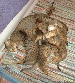Bengal Cats and Kittens for sale in the UK
