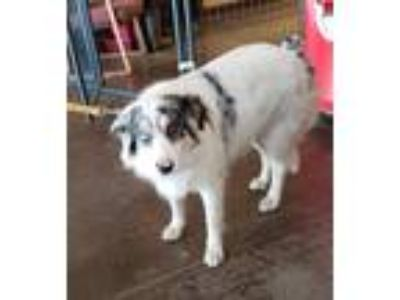 Adopt Lucky a White - with Black Australian Shepherd / Mixed dog in East