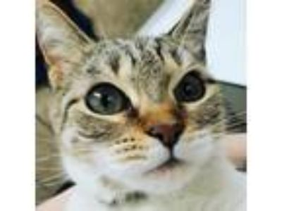 Adopt Sprinkles a Domestic Shorthair / Mixed (short coat) cat in Utica