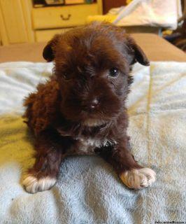 AKC Miniature Schnauzer Puppies