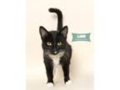 Adopt LLama a Black & White or Tuxedo Domestic Shorthair (short coat) cat in