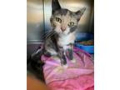Adopt Zizzle a Gray or Blue Domestic Shorthair / Domestic Shorthair / Mixed cat
