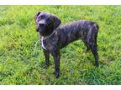 Adopt a Brindle Mastiff / Mixed dog in Louisville, KY (25874790)