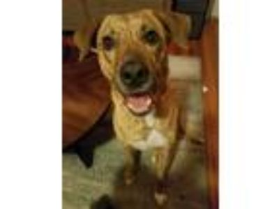 Adopt Willie a Brindle Plott Hound dog in San Antonio, TX (25282924)