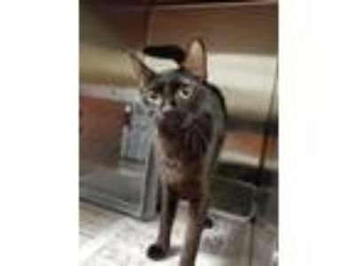 Adopt Alice a Black (Mostly) Domestic Shorthair (short coat) cat in Henderson