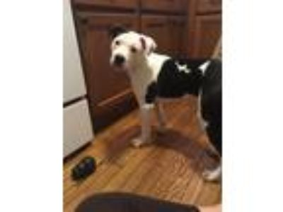 Adopt Finch a White - with Black American Pit Bull Terrier / Mixed dog in Troy
