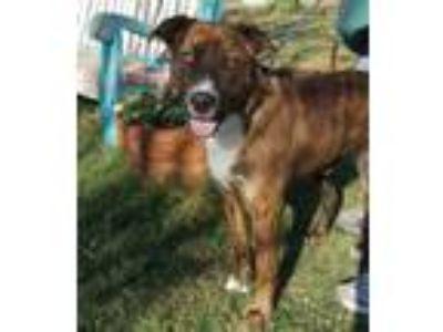 Adopt BLAZE a Brindle - with White Hound (Unknown Type) / Labrador Retriever /